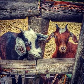 hood river goats-1136405__340