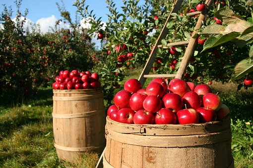 appleorchard2-publicdomainPixabay
